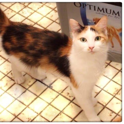 Laurel - Domestic Medium Hair Cat