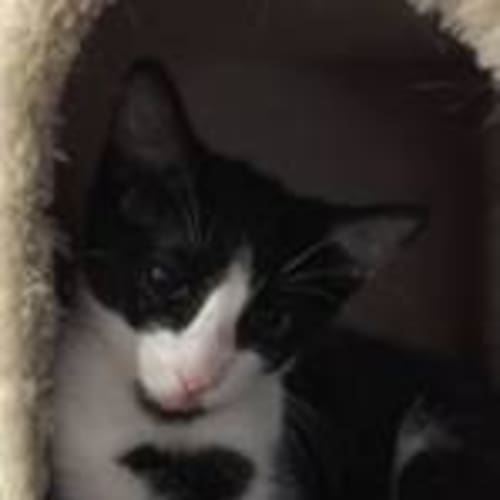 Sammy - Domestic Short Hair Cat