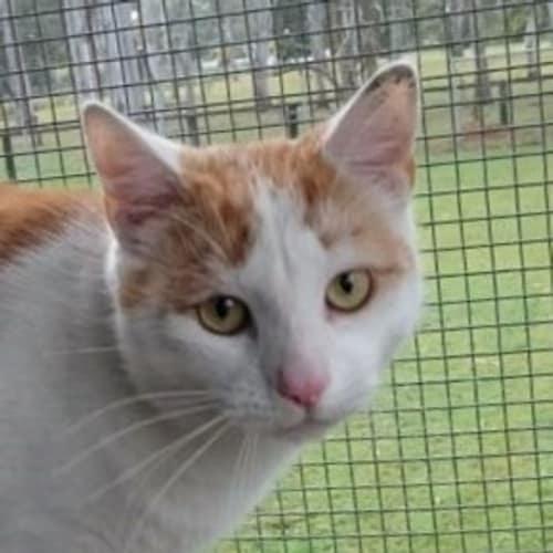 Louis - Domestic Short Hair Cat
