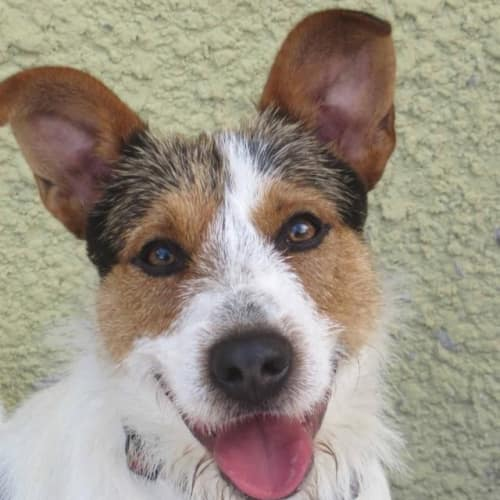 Spike - Fox Terrier Dog