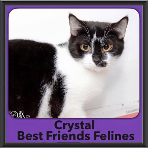 Crystal  - Domestic Short Hair Cat