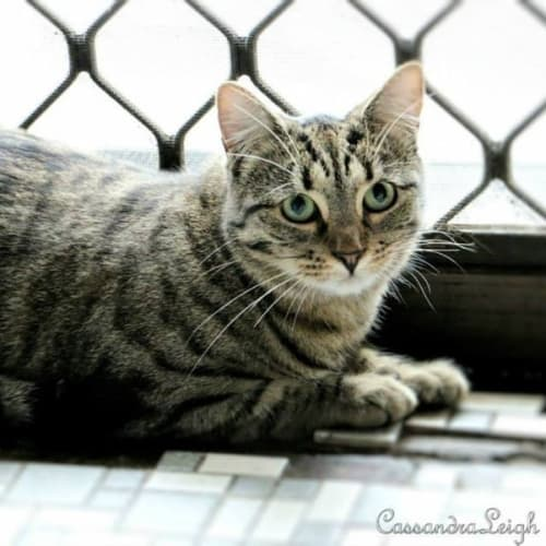 Faith  - Domestic Short Hair Cat