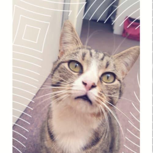 Easy - Domestic Short Hair Cat
