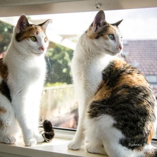 Miki and Niki - Domestic Short Hair Cat