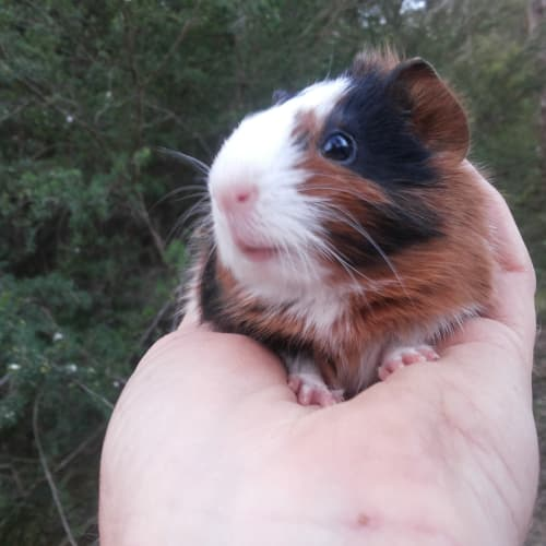 Sooo Many Gorgeous Piggies! -  Guinea Pig