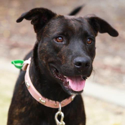 Peggy  * foster or adopt* - Labrador x Staffy Dog