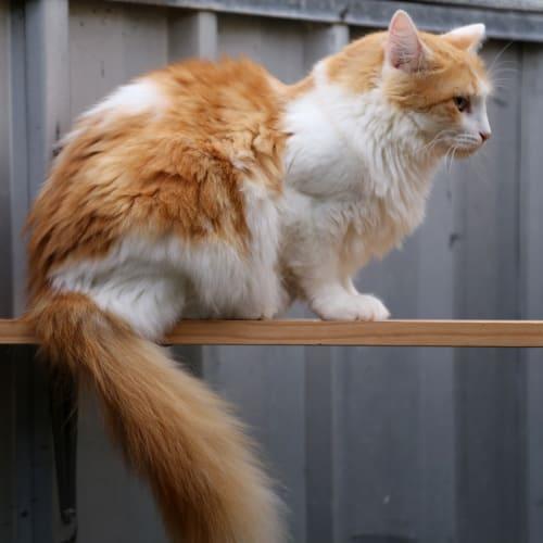 Anastasia - Domestic Long Hair Cat
