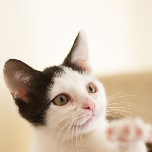Sylvester - Cat and kid friendly - Domestic Short Hair Cat