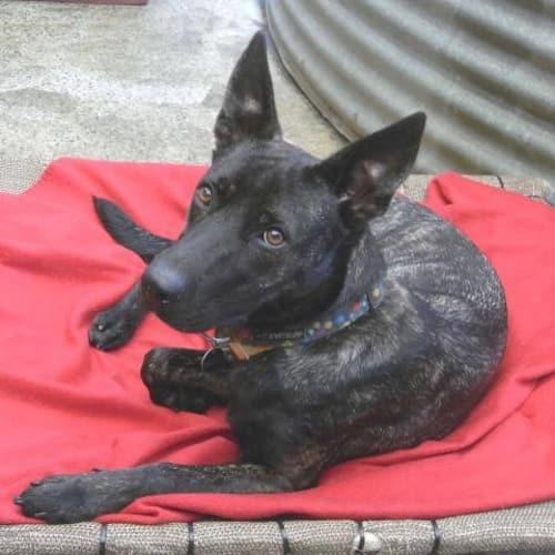 Ember - German Shepherd x Kelpie Dog