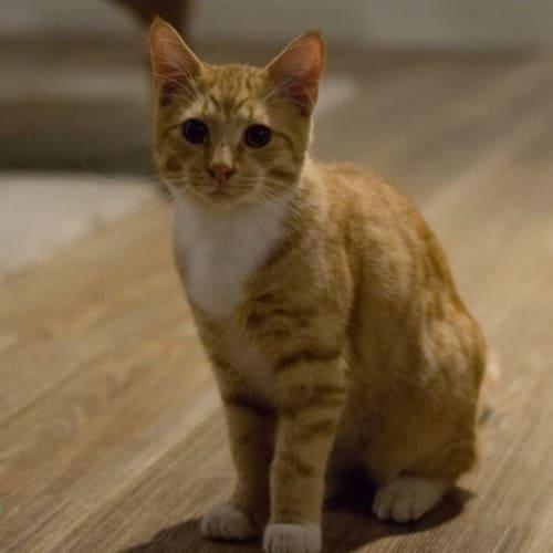 Klaus  - Domestic Short Hair Cat