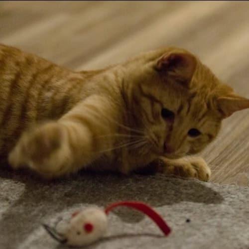 Elijah - Domestic Short Hair Cat