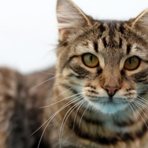 Pound Cats | Milly