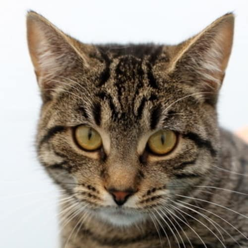Pound Cats | Mandy - Domestic Short Hair Cat