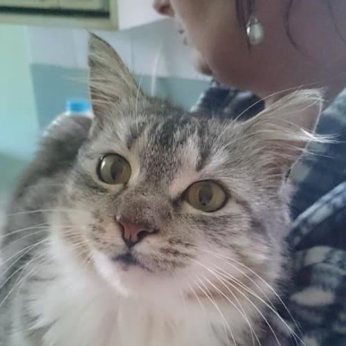 Felicity - Domestic Medium Hair Cat