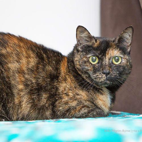Chitty    - Domestic Short Hair Cat