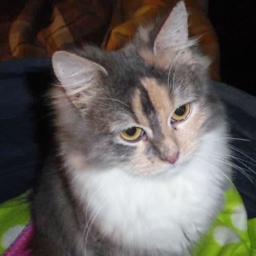 Aniessa - Domestic Long Hair Cat