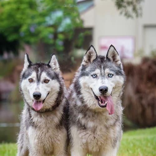Ash & Doobie - Siberian Husky Dog