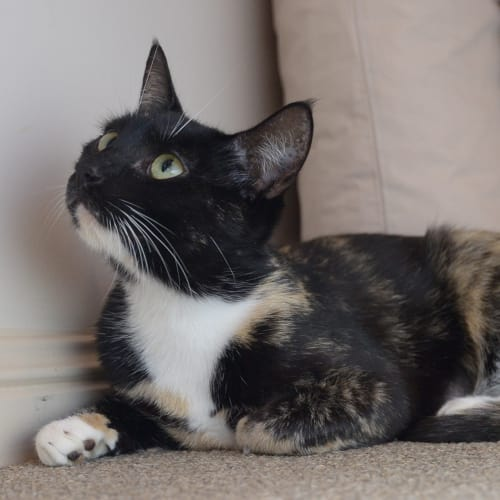 Dilys - Domestic Short Hair Cat