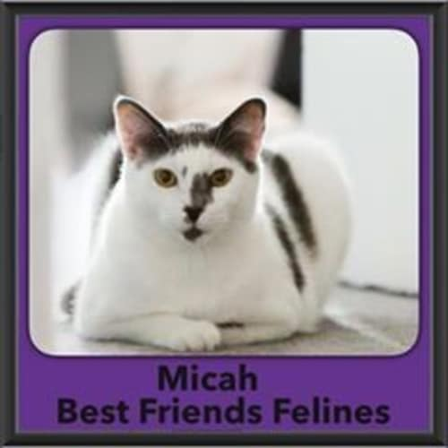 Micah  - Domestic Short Hair Cat