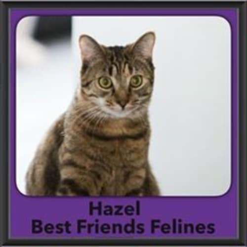Hazel - Domestic Short Hair Cat
