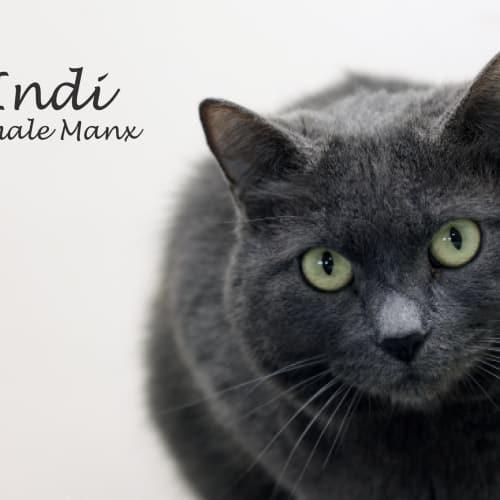 Indi - Manx Cat