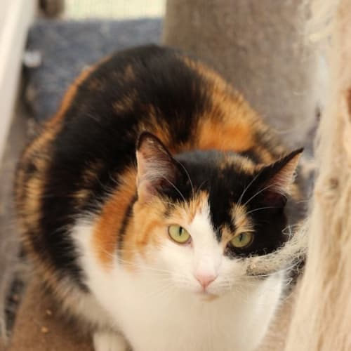 Patricia **2nd Chance Cat Rescue** - Domestic Short Hair Cat