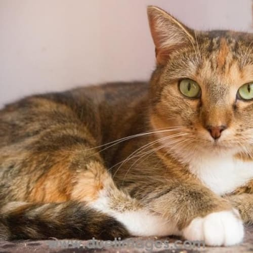 Rose **2nd Chance Cat Rescue** - Domestic Short Hair Cat