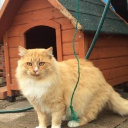Fuzz - Domestic Medium Hair Cat
