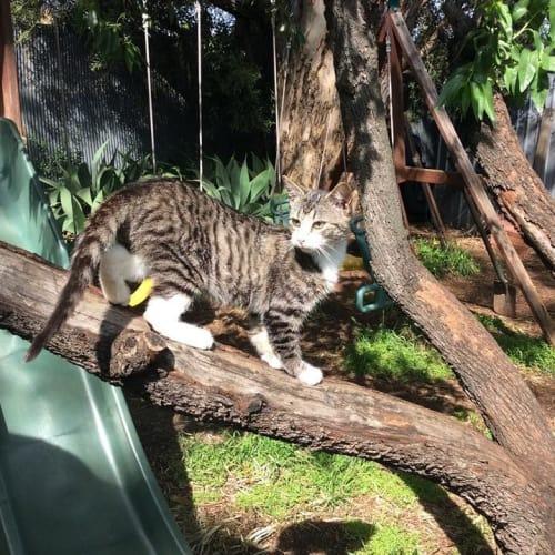 Baby - Domestic Short Hair Cat
