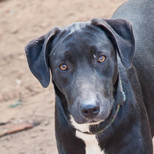 Nadia - Border Collie Dog
