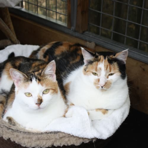 Pound Cats   Pixie & Dixie..bonded sisters - Domestic Short Hair Cat