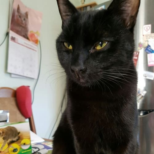 Coogar - Domestic Short Hair Cat
