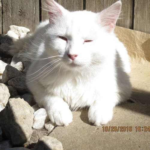 Marshmallow - Domestic Short Hair Cat