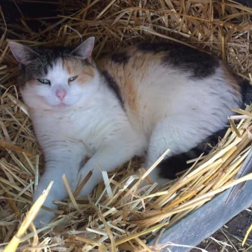 Doll - Domestic Short Hair Cat