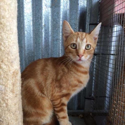 Fiddle - Domestic Short Hair Cat