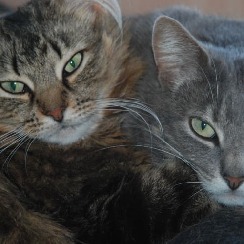 Bodhi & Cassidy~Sweet and shy - Domestic Short Hair Cat