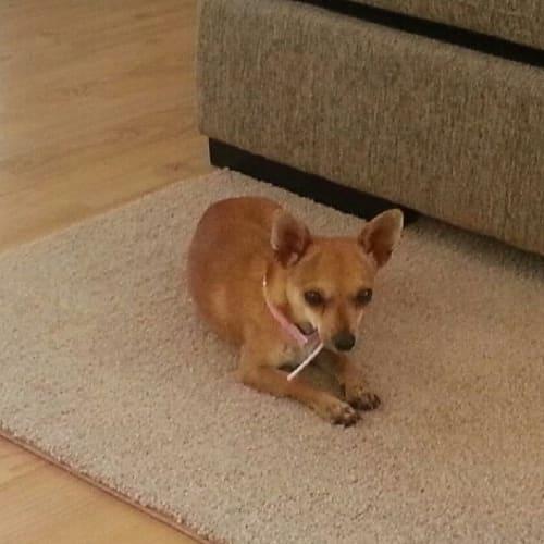 Rosie (AV932) - Chihuahua Dog