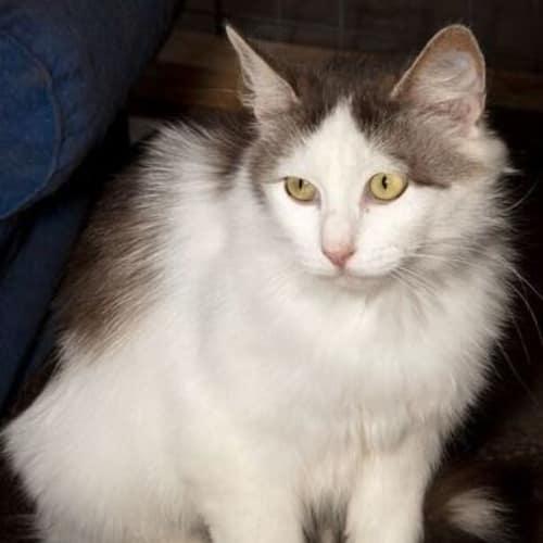 Lady Clara  - Domestic Medium Hair Cat