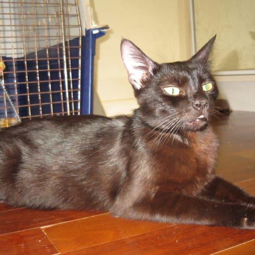 Cleo - Oriental Cat