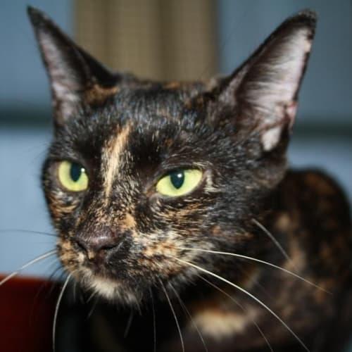 Oprah - Domestic Short Hair Cat