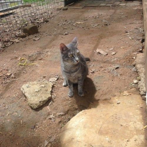 Poppi - Domestic Short Hair Cat