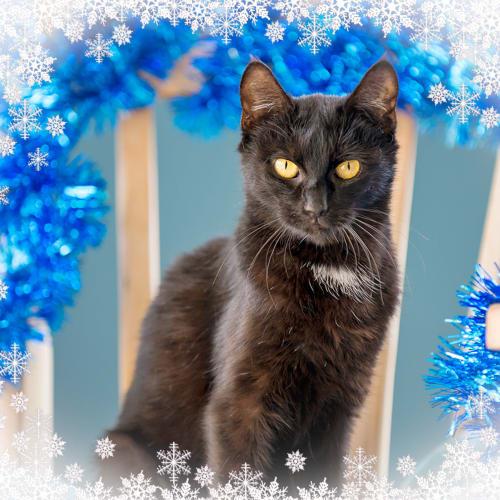 Karri  - Domestic Short Hair Cat