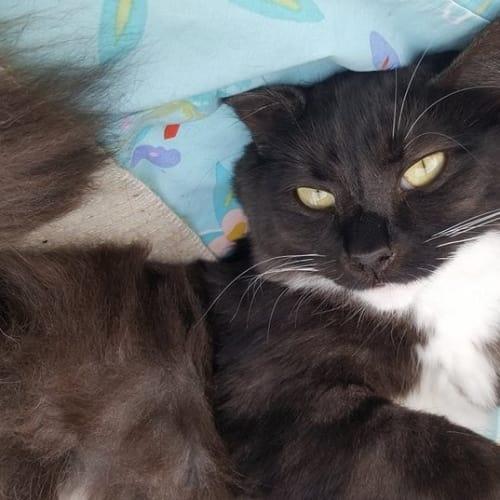 """Montana"" - Purrfect Match - Domestic Medium Hair Cat"