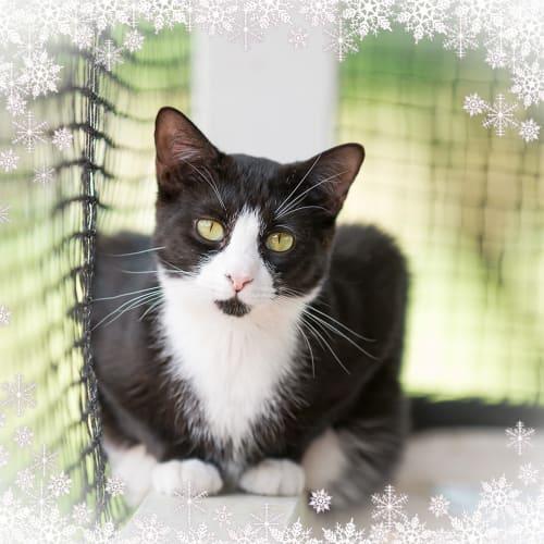 Tau - Domestic Short Hair Cat