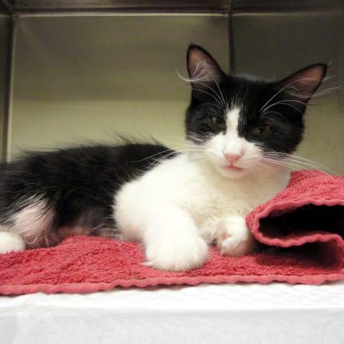 Slate - Domestic Short Hair Cat