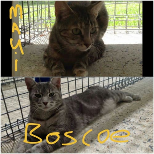 Maui & Boscoe - Domestic Short Hair Cat