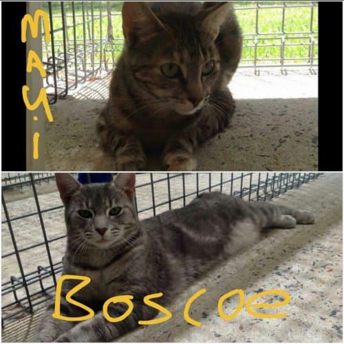 Maui & Boscoe - Domestic Short Hair Cat