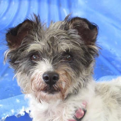 Saffy - Maltese x Silky Terrier Dog