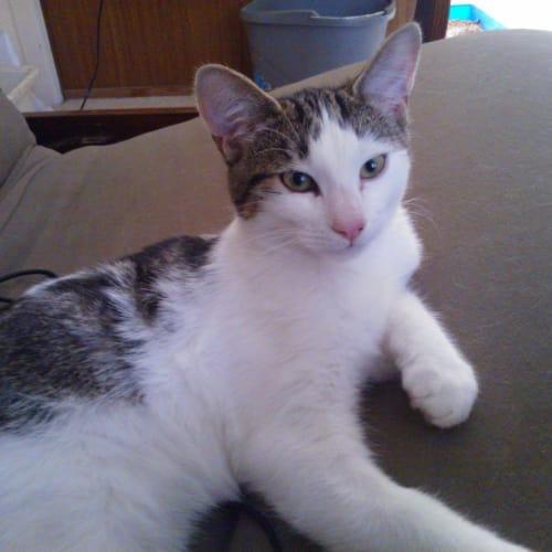 Zeke War-Horse - Domestic Short Hair Cat