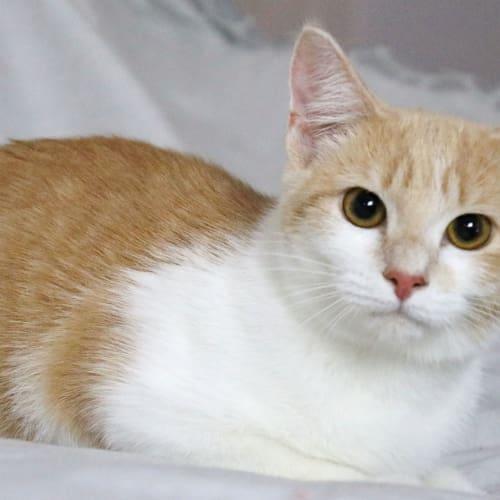 Harley - Domestic Short Hair Cat